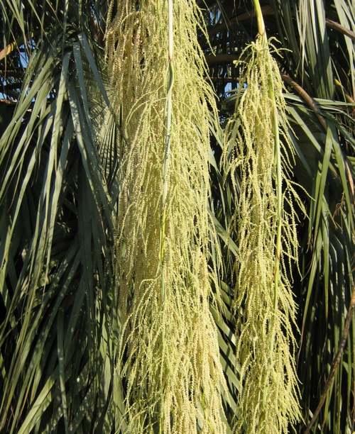 Brahéa : sorte de palmier