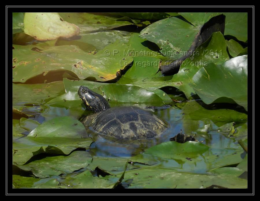 Tortue dans les feuilles de Lotus...