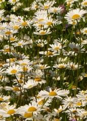 Marguerite des prés fleur