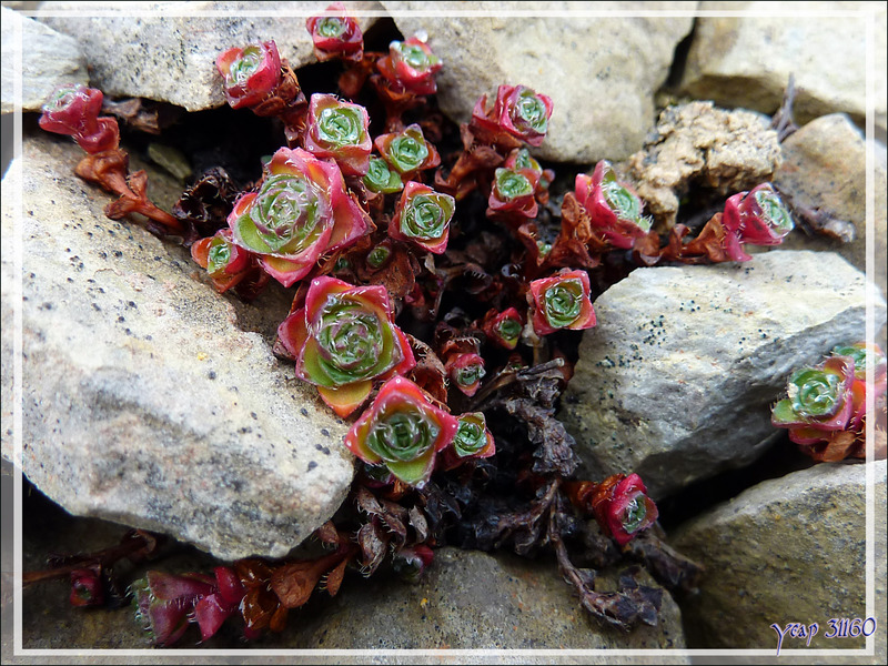 Saxifrage à feuilles opposées, Purple saxifrage (Saxifraga oppositifolia) - Beechey Island (Péninsule de Devon Island) - Nunavut - Canada