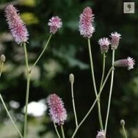 sanguisorba-pink-tanna-.jpg
