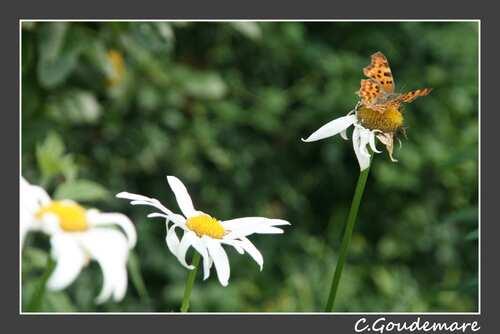 Papillon # 5