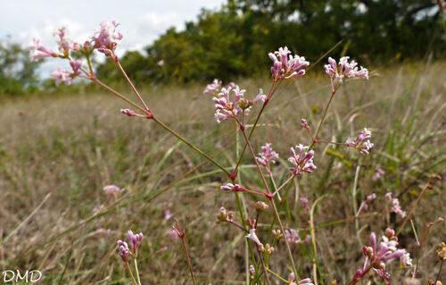 Asperula cynanchica - herbe à l'esquinancie