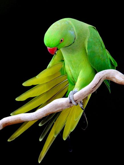 Photo: A bright-green parrot on a branch