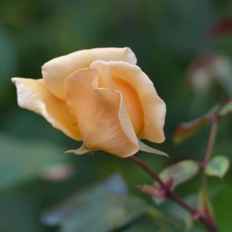 Novembre n'arrête pas les roses...