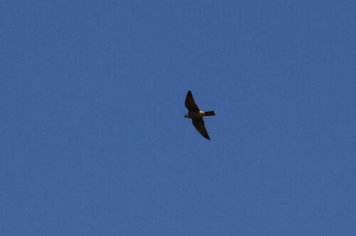 Faucon Hobereau (Eurasian Hobby)
