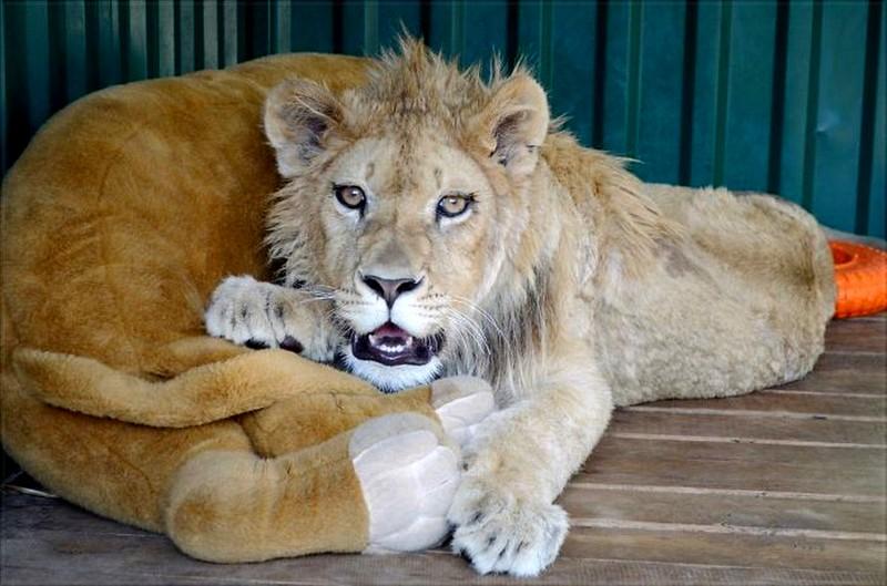 Simba, sauvé de la torture