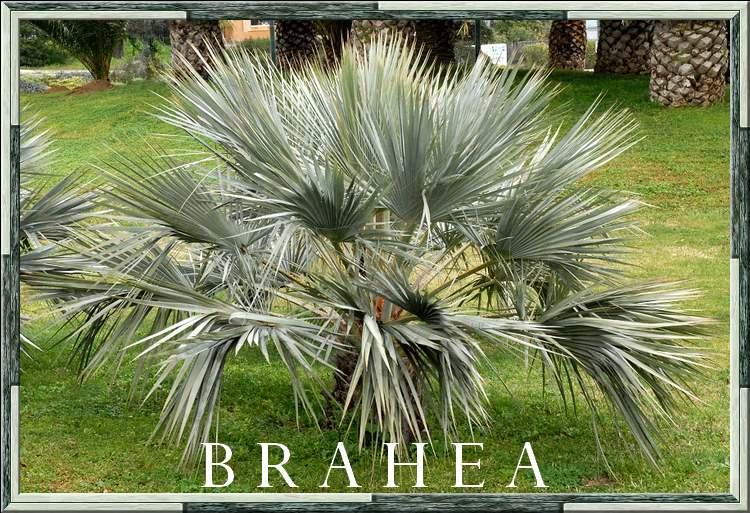 Brahéa