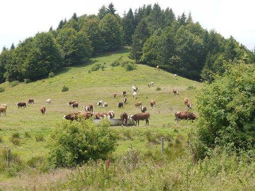Les belles vaches viennent d'abreuver