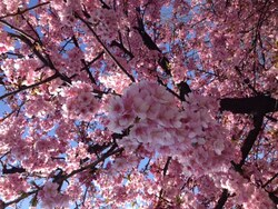 Sakura 2015