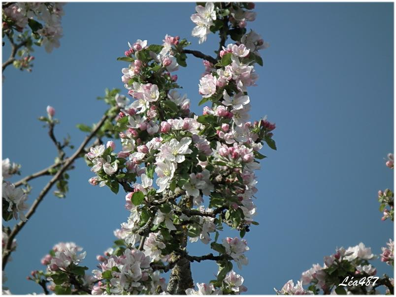 Pommier et poirier en fleurs