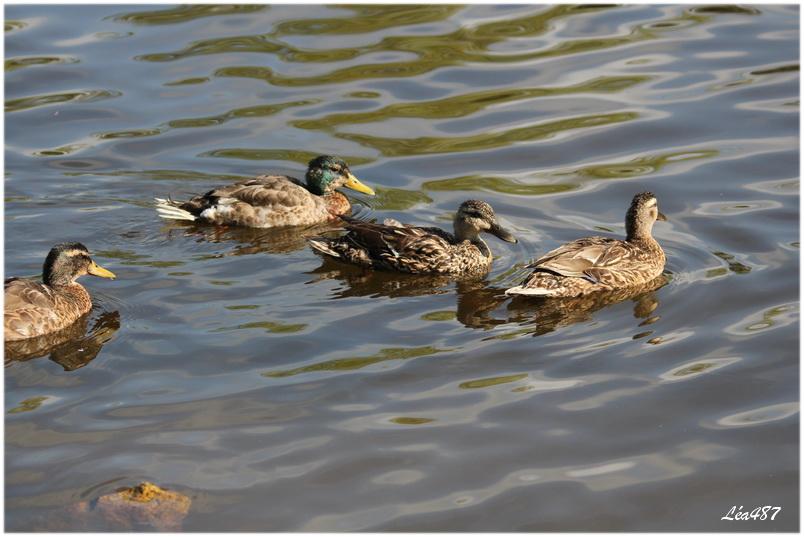 Cygnes et canards