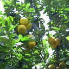 De nombreux arbres fruitiers - Photo : Mistouflette