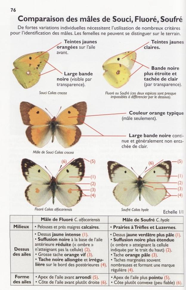 Colias ♀ - Pieridae