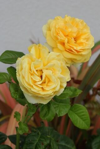 rose 'Michelangelo' de Meilland