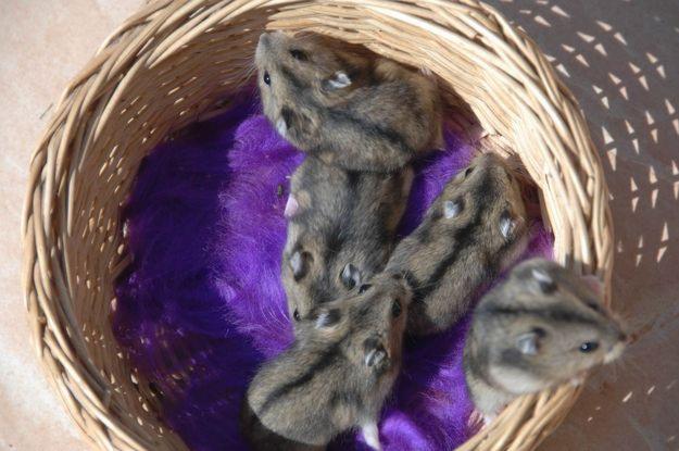 Adoption le hamster russe - Ou acheter carrelage pas cher ...