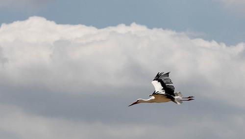 cigogne a 10 000 pieds