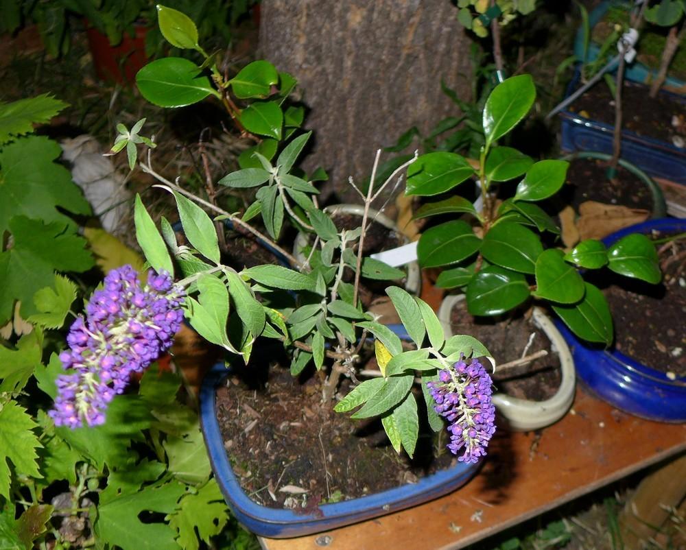 Mon arbre aux papillons en bonsaï...