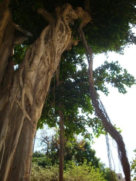 Palerme, Jardin botanique, ficus citrifolia 1