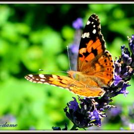 Belle-Dame ou Vanesse des Chardons ou Vanesse de l'Artichaut ou Cinthia Cardui