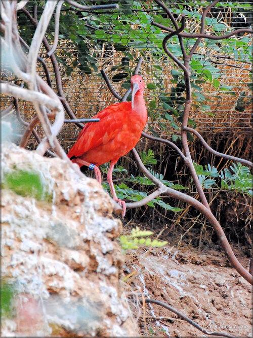 Photo Ibis rouge (Zoo de Doué la Fontaine)