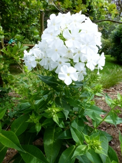 Longues floraisons estivales