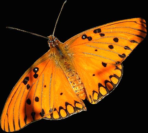 La Femme au Papillons