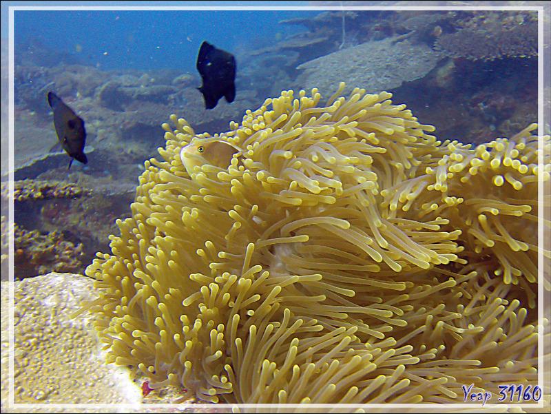 Poisson-clown mouffette ou à bande dorsale, Nosetripe clownfish (Amphiprion akallopisos) : me voyez-vous ? - Nosy Tsarabanjina - Nosy Mitsio - Madagascar