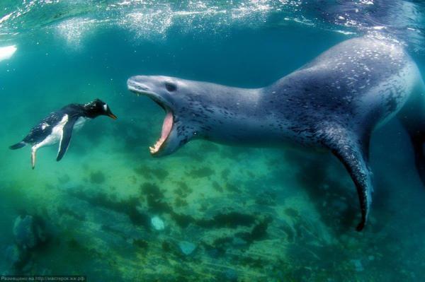 Quels sont les animaux les plus agressifs du monde ? - Le léopard des mers