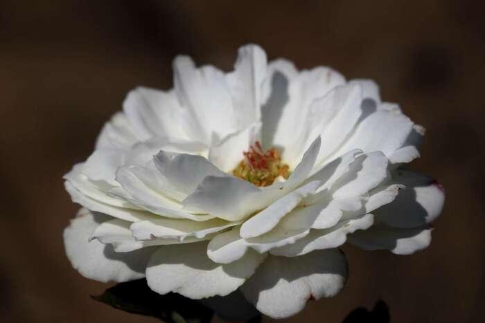 Les Roses de Warren : Weisse Magie