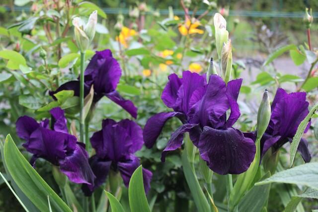 iris noir velouté