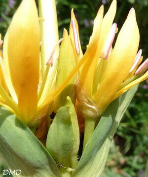 Gentiana lutea - gentiane jaune - grande gentiane