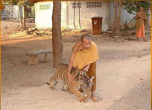defi-62-le-tigre