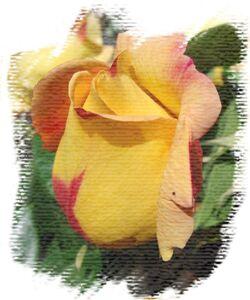 Rose_jardin_2010