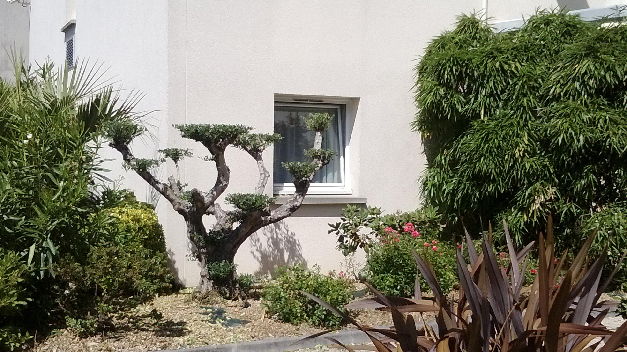 Taille d\'un olivier pour un hotel - jardin zen