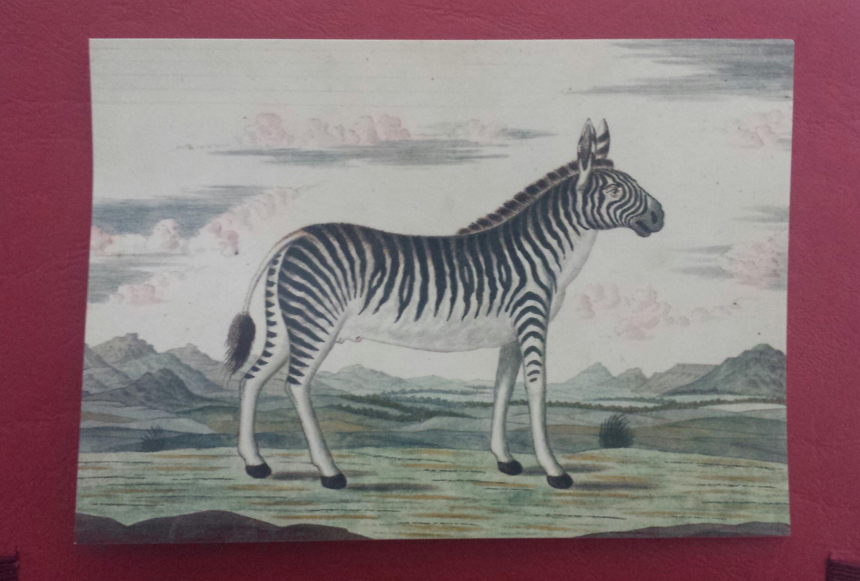 c 1 zebre