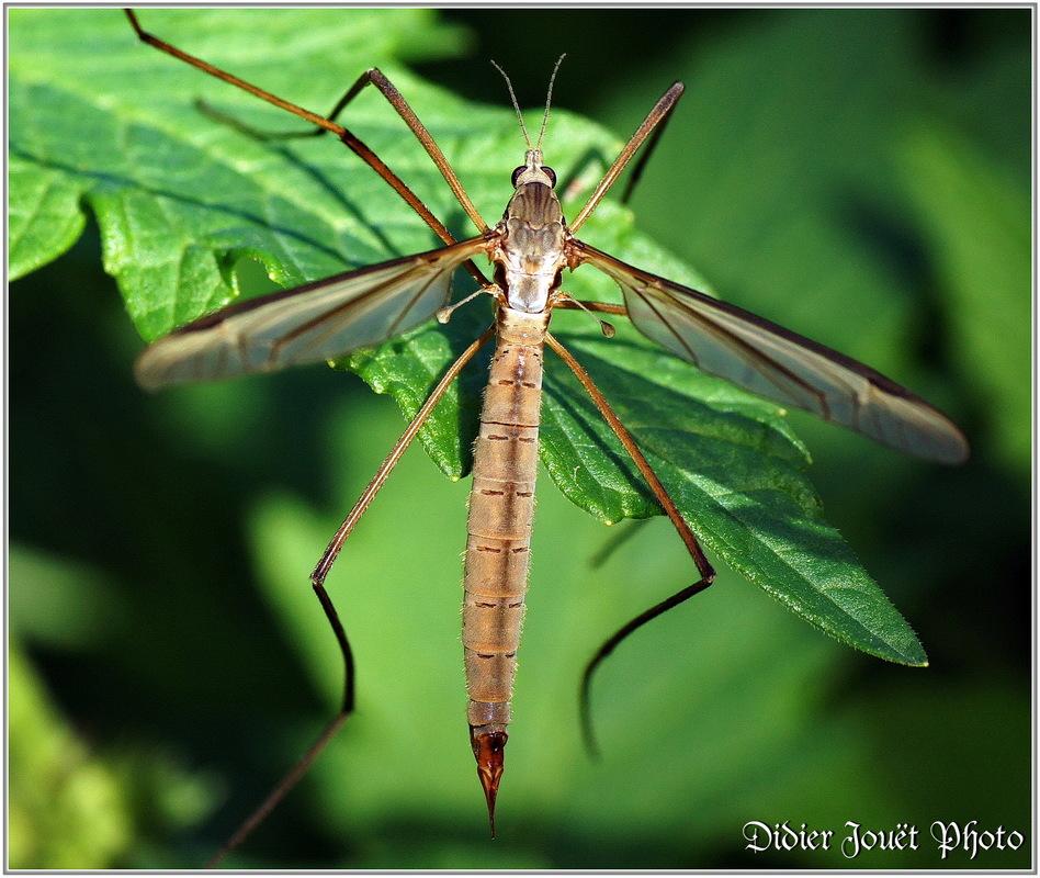 Tipule du Chou / Tipula oleracea