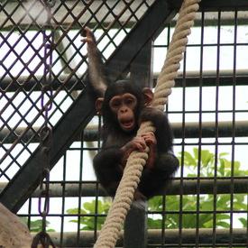 Chimpanzé