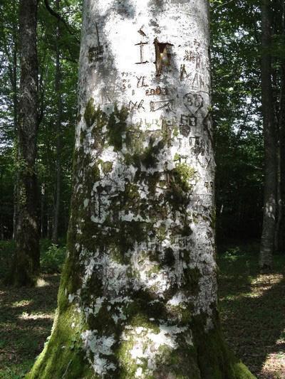 Le gros chêne de Buxerolles