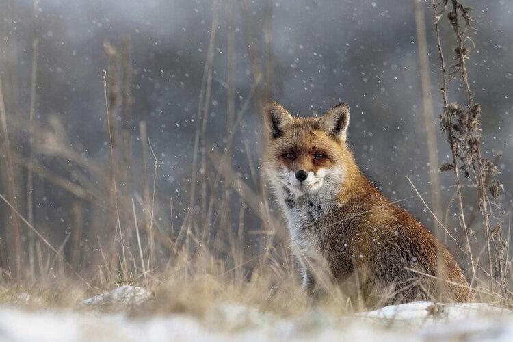 L'odyssée du renard