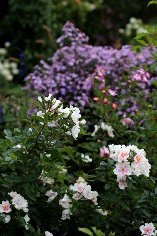 Les Roses de Warren : September Stars