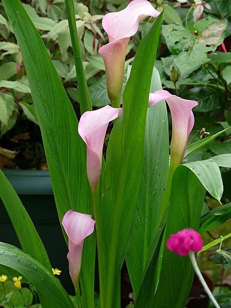 Callas roses-3-07--12 008