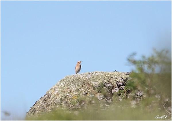 Oiseaux-3-2810-traquet-motteux-Fe.jpg