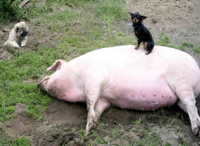Le petit chihuahua et la tite grosse cochonne ;)