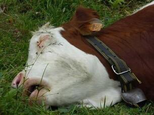 Morte pour son veau