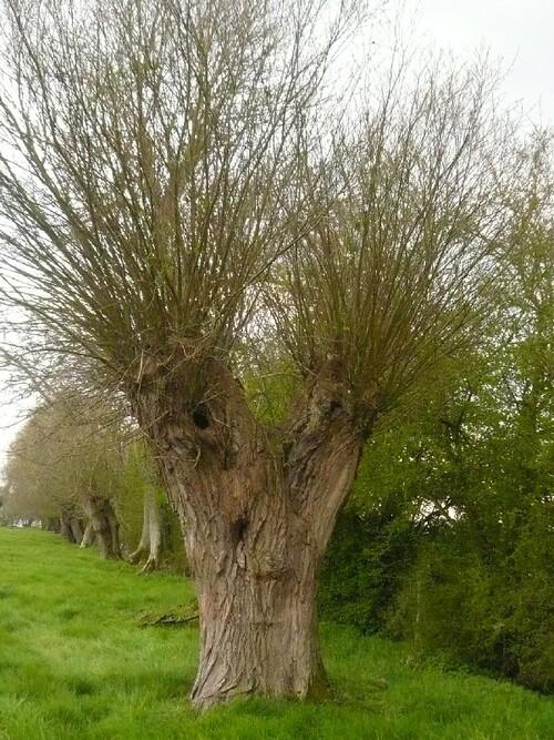 Vertus médicinales des arbres : Saule blanc