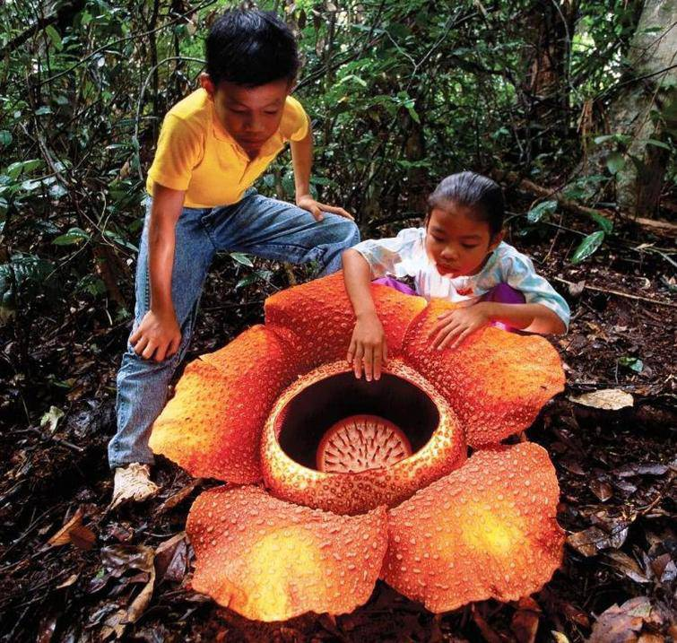 This is Rafflesia Arnoldii, and it is the largest flower in the world, which also smells very bad
