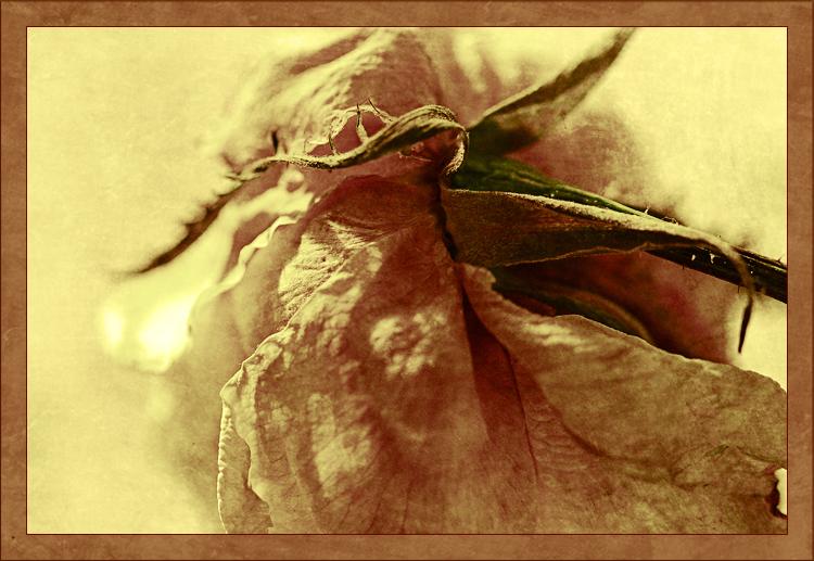 Encore une rose fanée