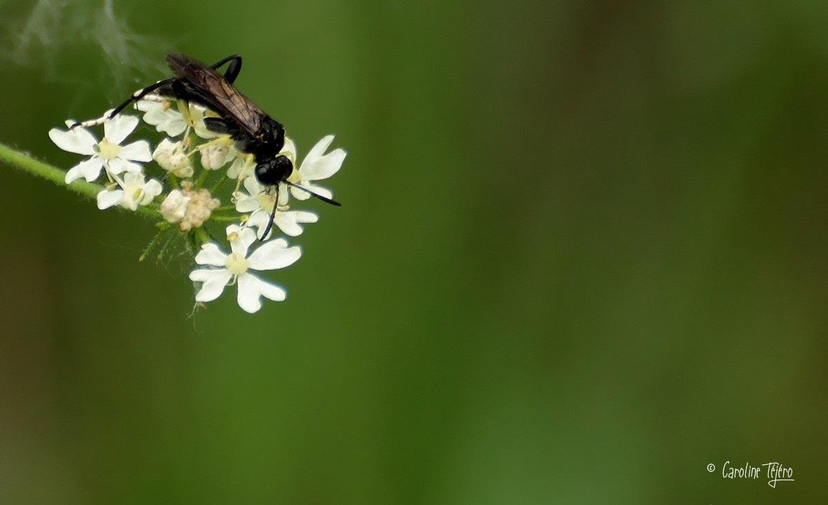 Tenthrèdes  macrophya montana mâle et femelle