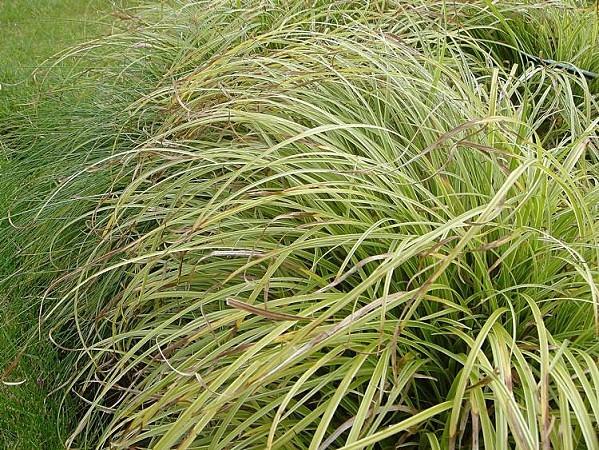 Carex-le-jardindejeanmarie.jpg